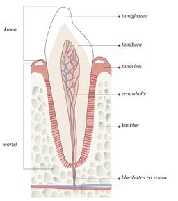 tanddoorsnede