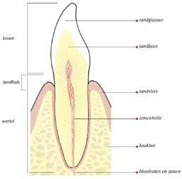 Doorsnede tand waarbij het tandvlees is teruggetrokken